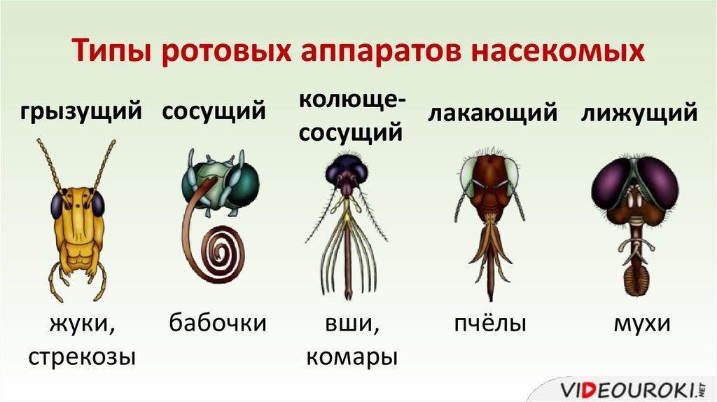 квартира ротовые аппараты насекомых рисунки множество