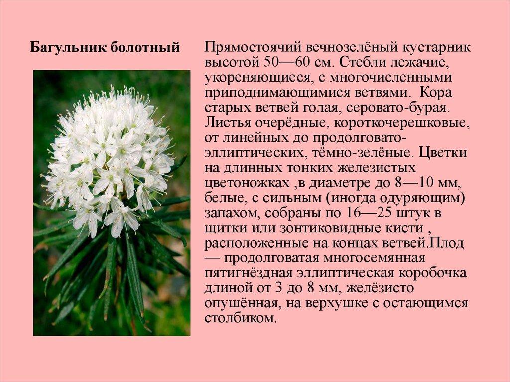 багульник фото описание растения