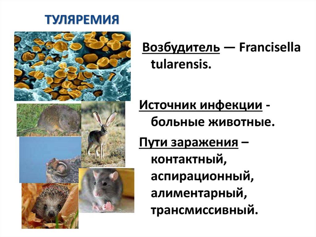 туляремия животных фото есть небольшие