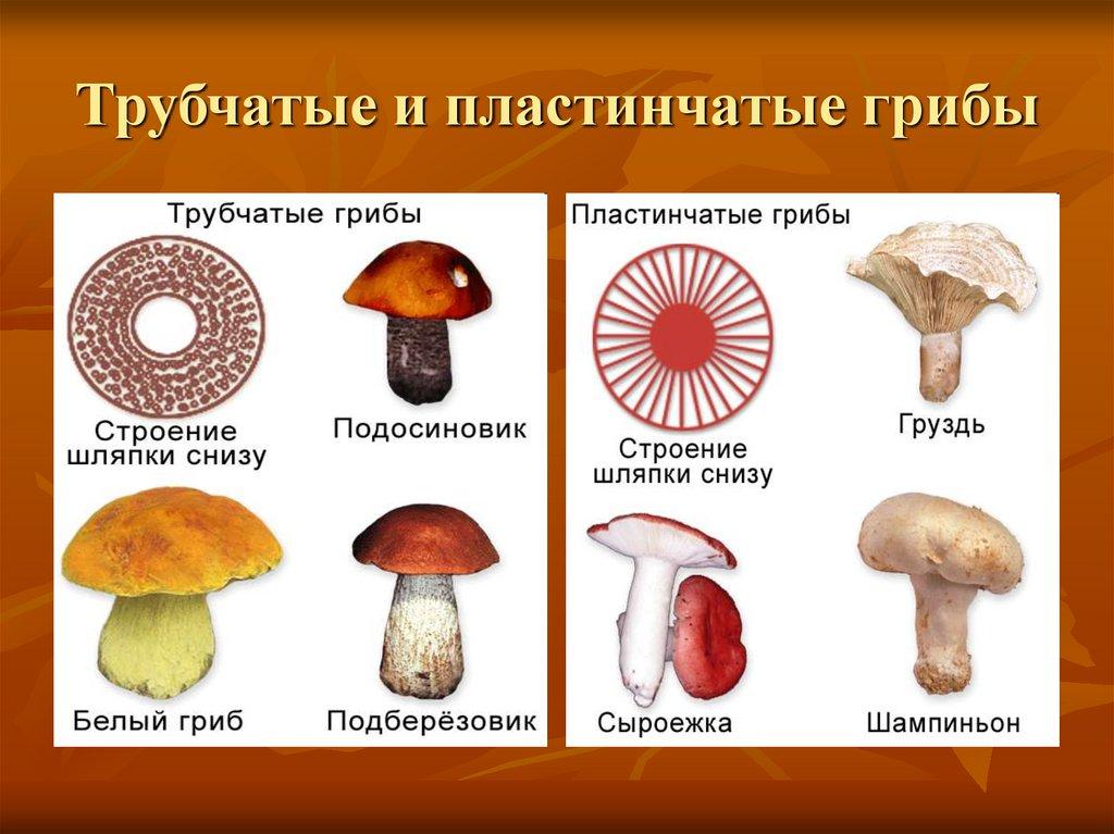 виды трубчатых грибов фото и описание
