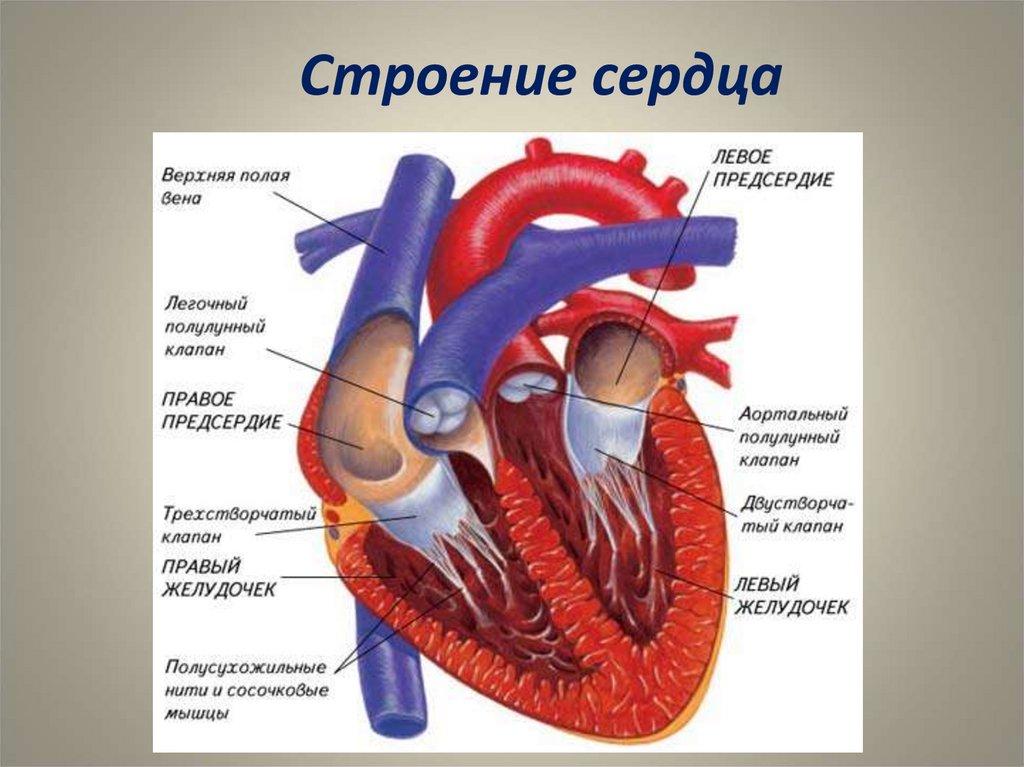Как улучшить работу сердца: рекомендации питанию ...