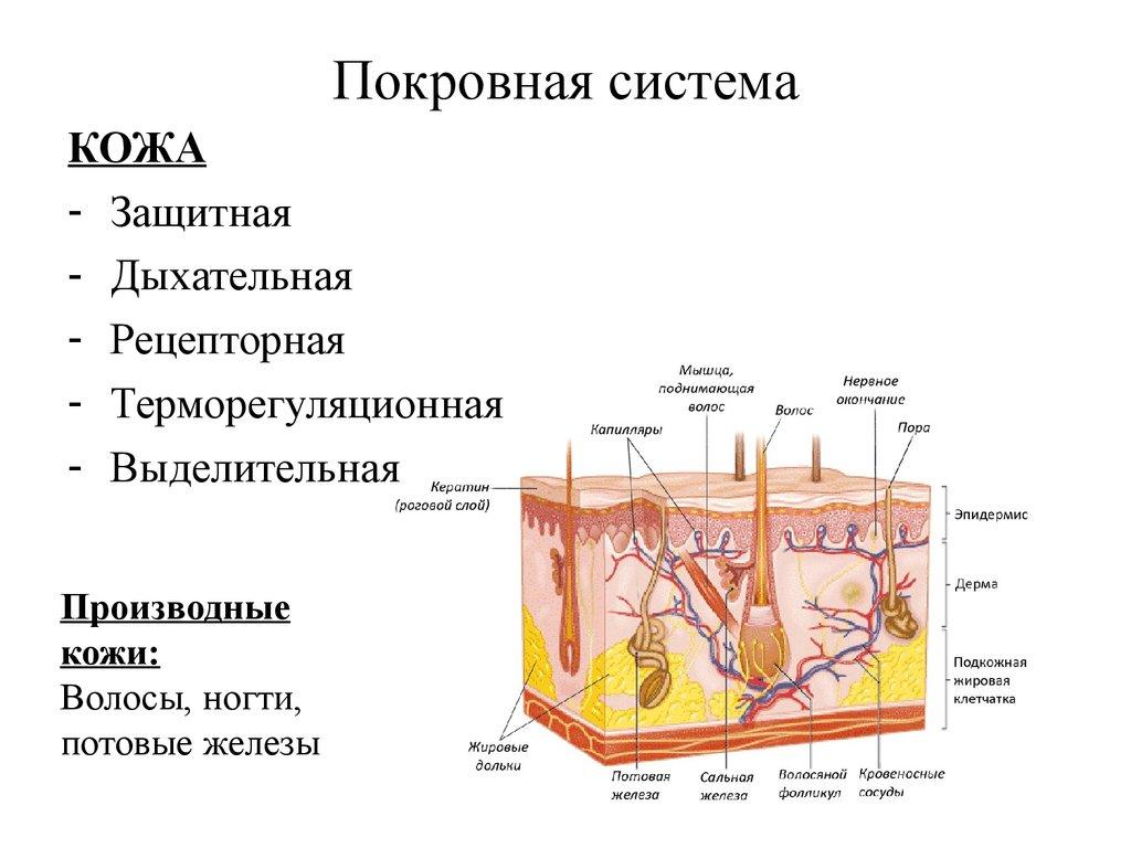 Картинки на тему покровная система человека