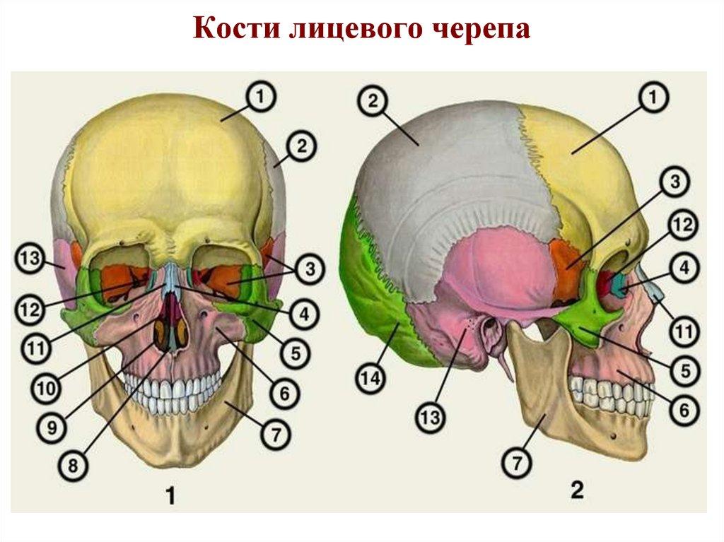 оживленных магистралей, кости черепа человека анатомия картинки вменяются