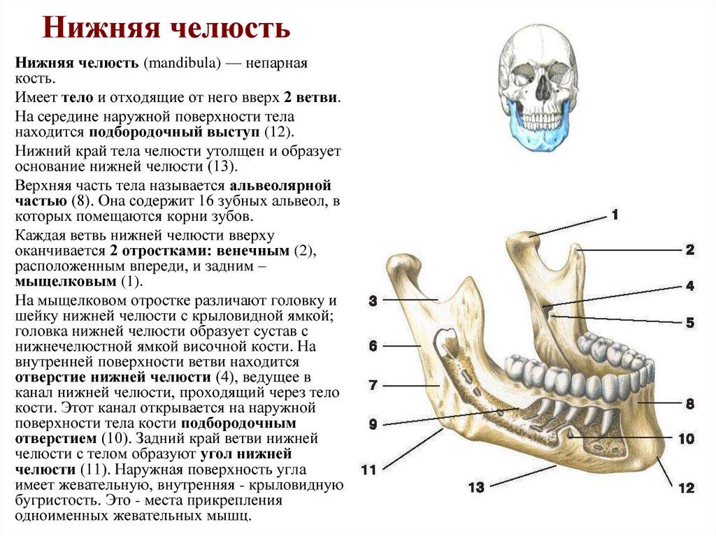 Нижняя челюсть картинки с подписями