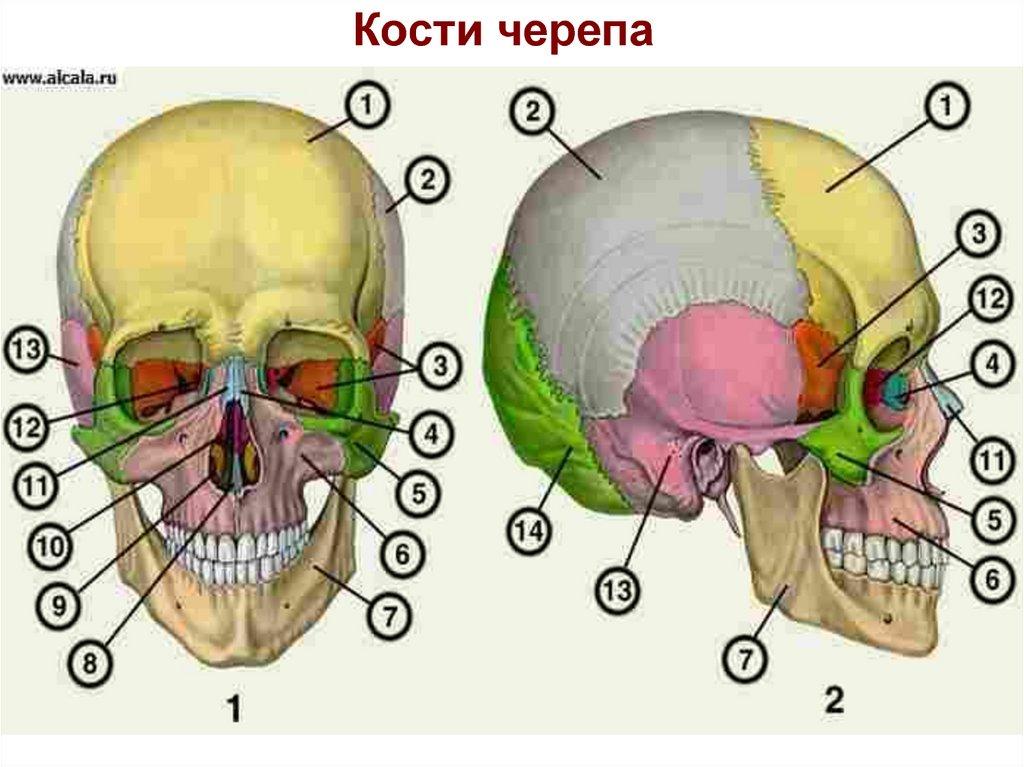 использую картинка черепа с костями строение огромный опыт работы