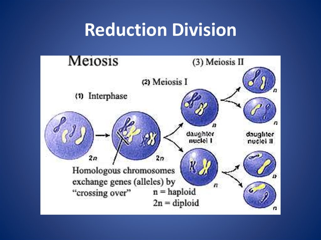 Cell Division Meiosis