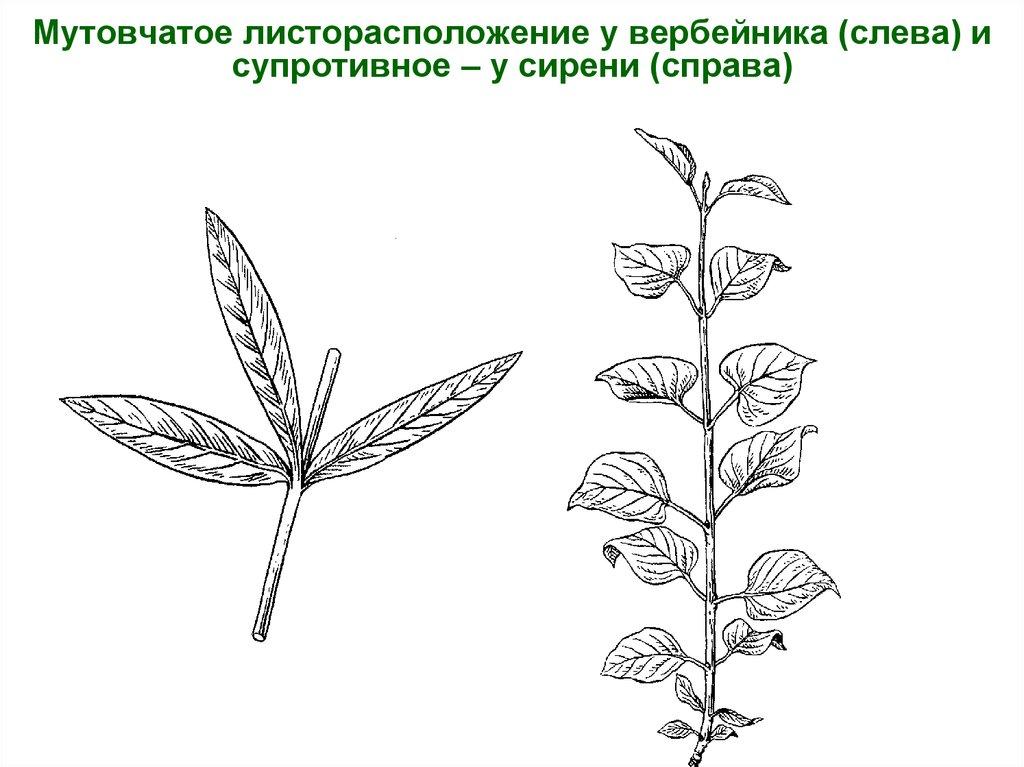 Листорасположение у растений в картинках узнать точное