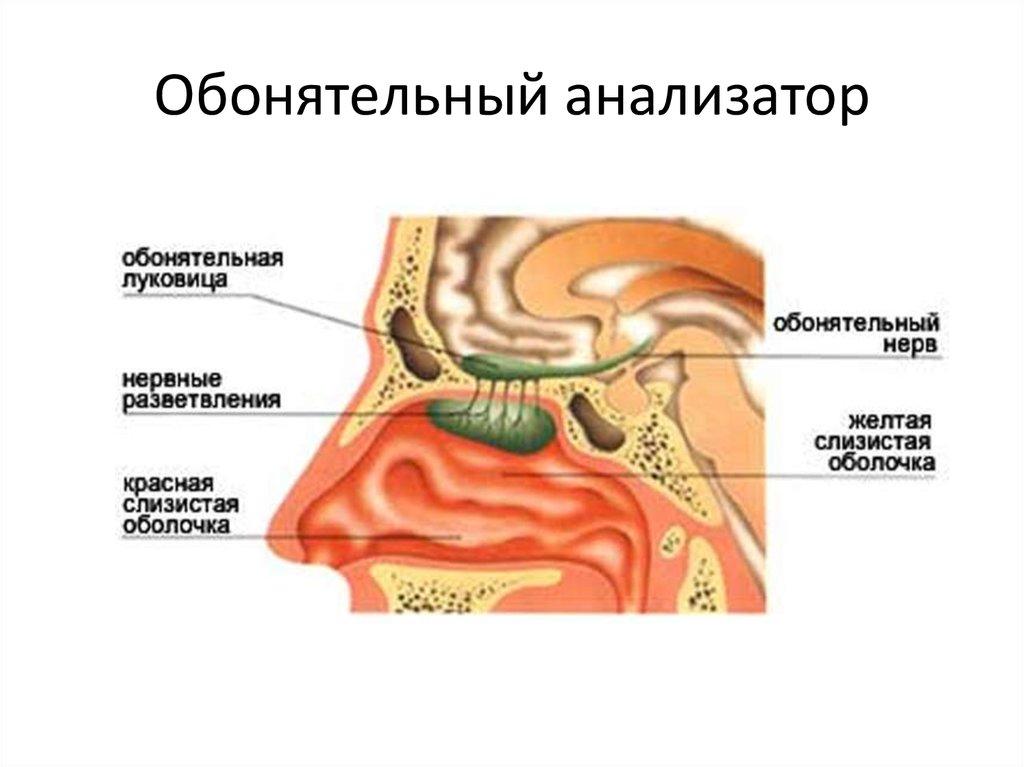 Обонятельный нерв картинки