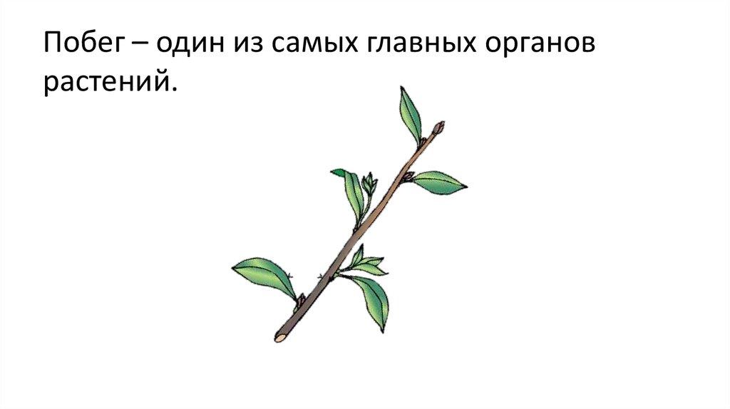 Побег растений картинка