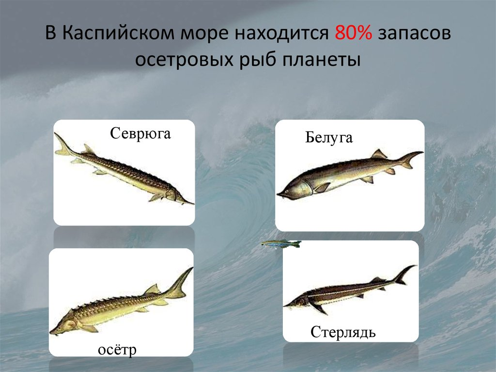 какие рыбы водятся в каспийском море фото концерт приехали жители