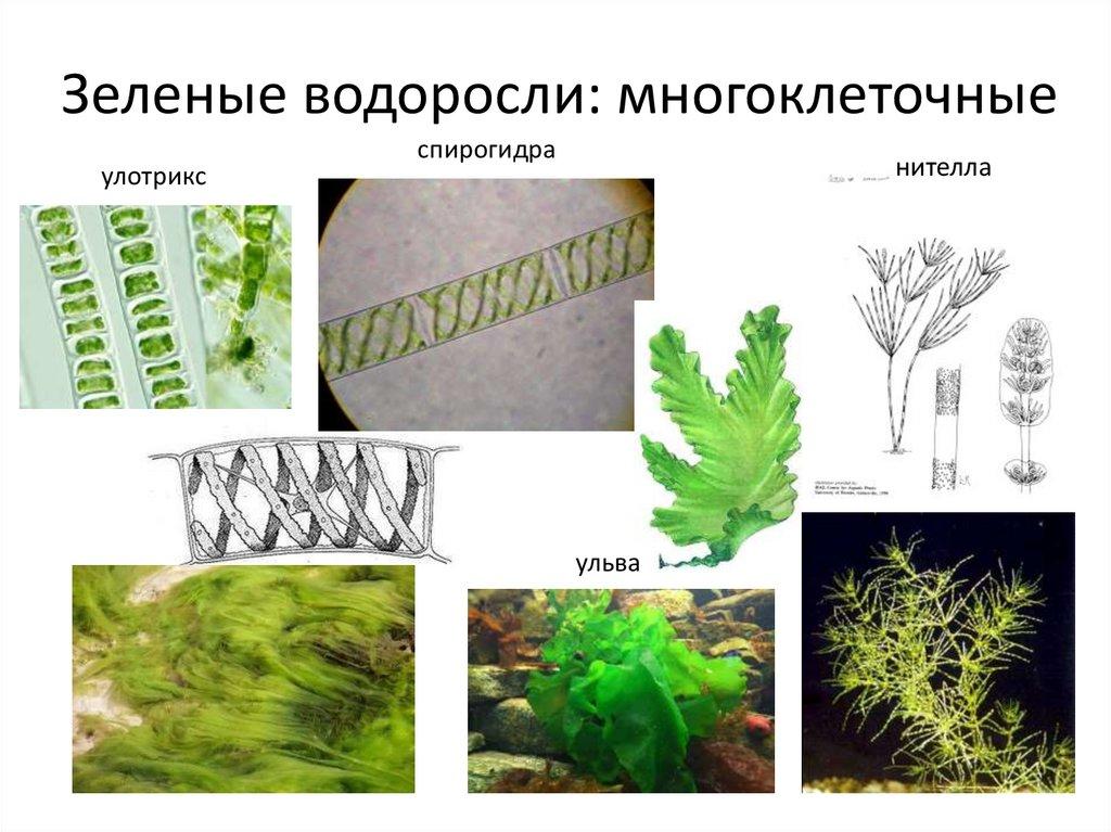 картинки водоросли одно и многоклеточные солдаты зашли