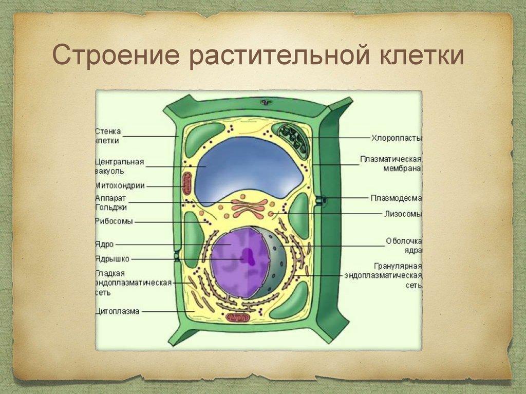 Строение растительных клеток картинки пробы главного