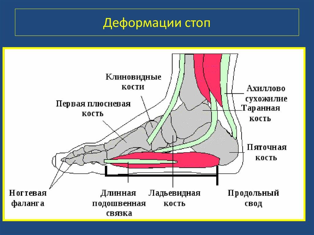 Анатомия стопы человека в картинках