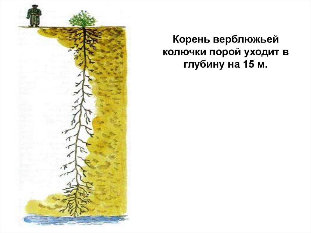 Рисунок верблюжьей колючки