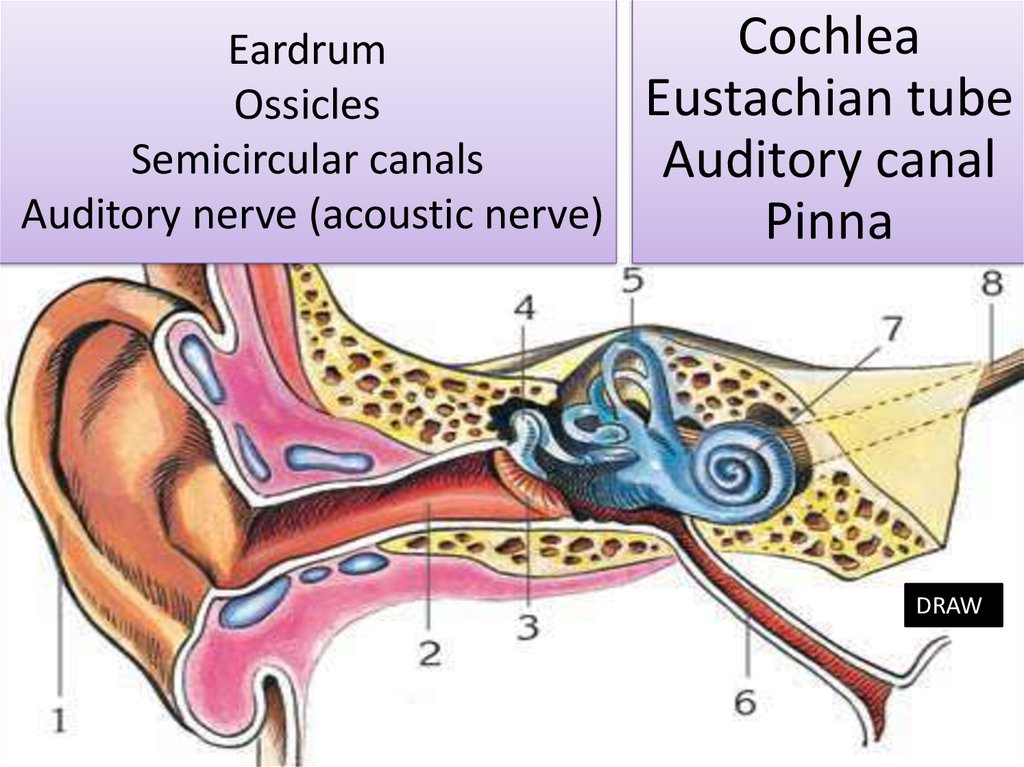 Eardrum Ossicles Semicircular canals Auditory nerve (acoustic nerve)