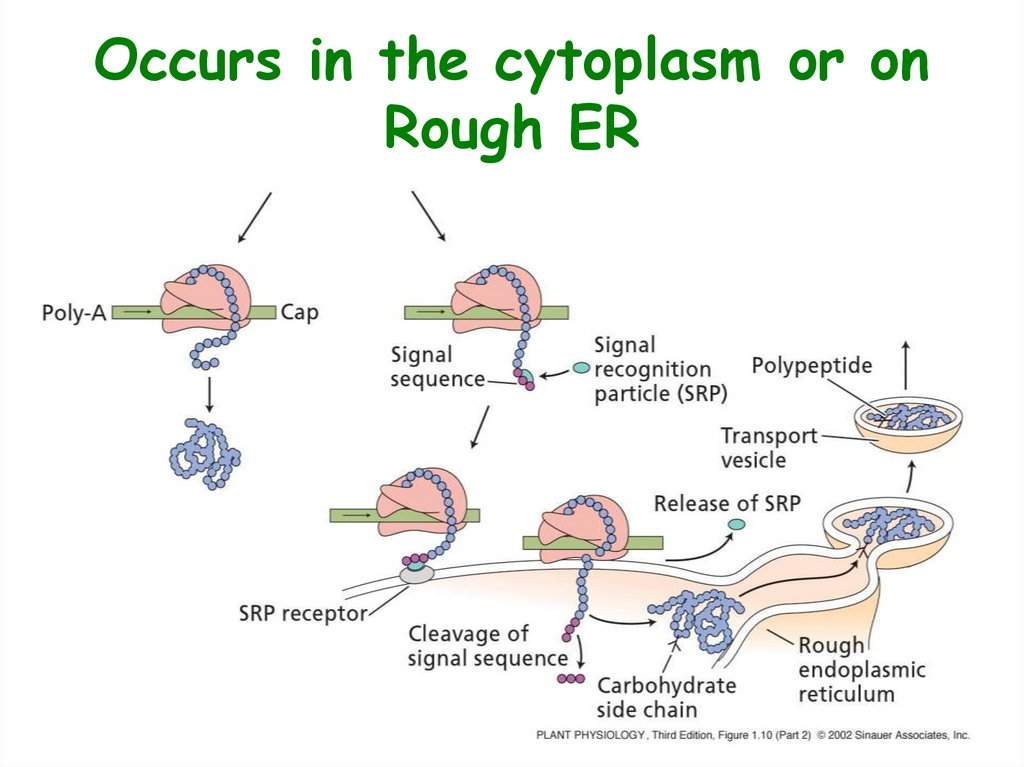 Occurs in the cytoplasm or on Rough ER