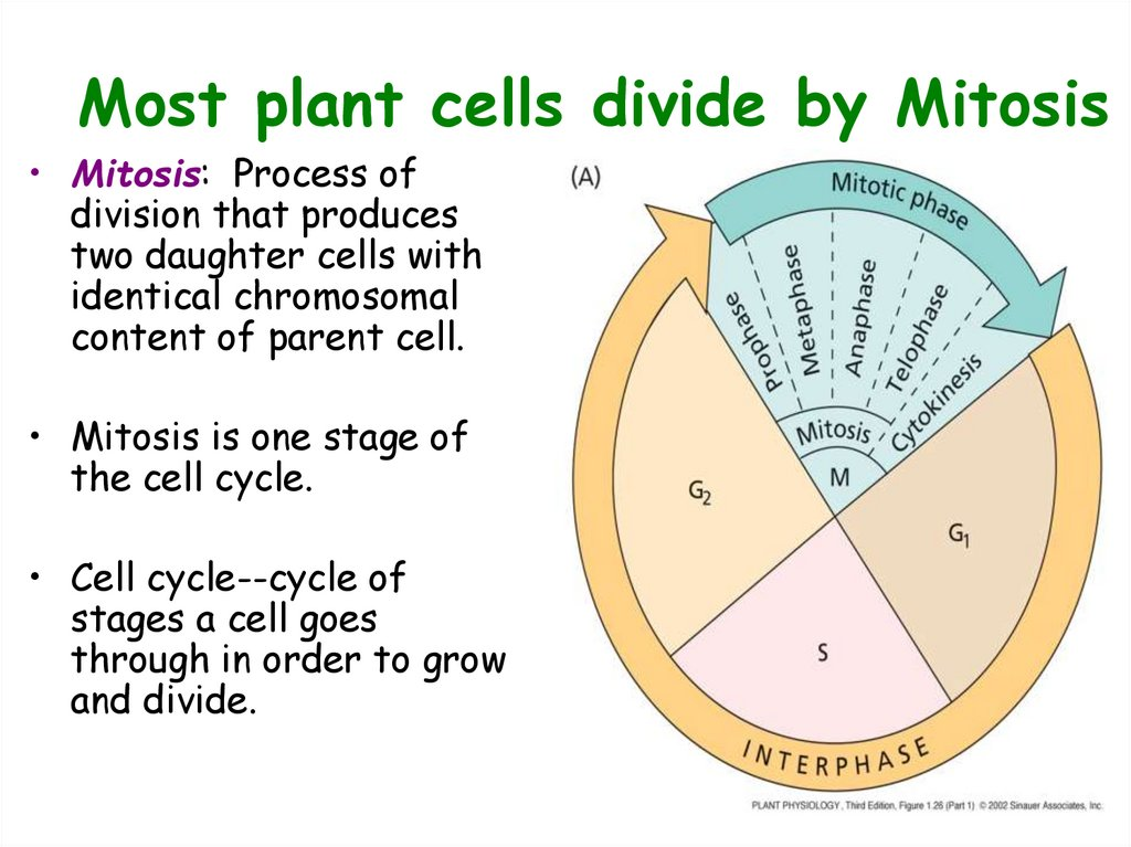 Most plant cells divide by Mitosis