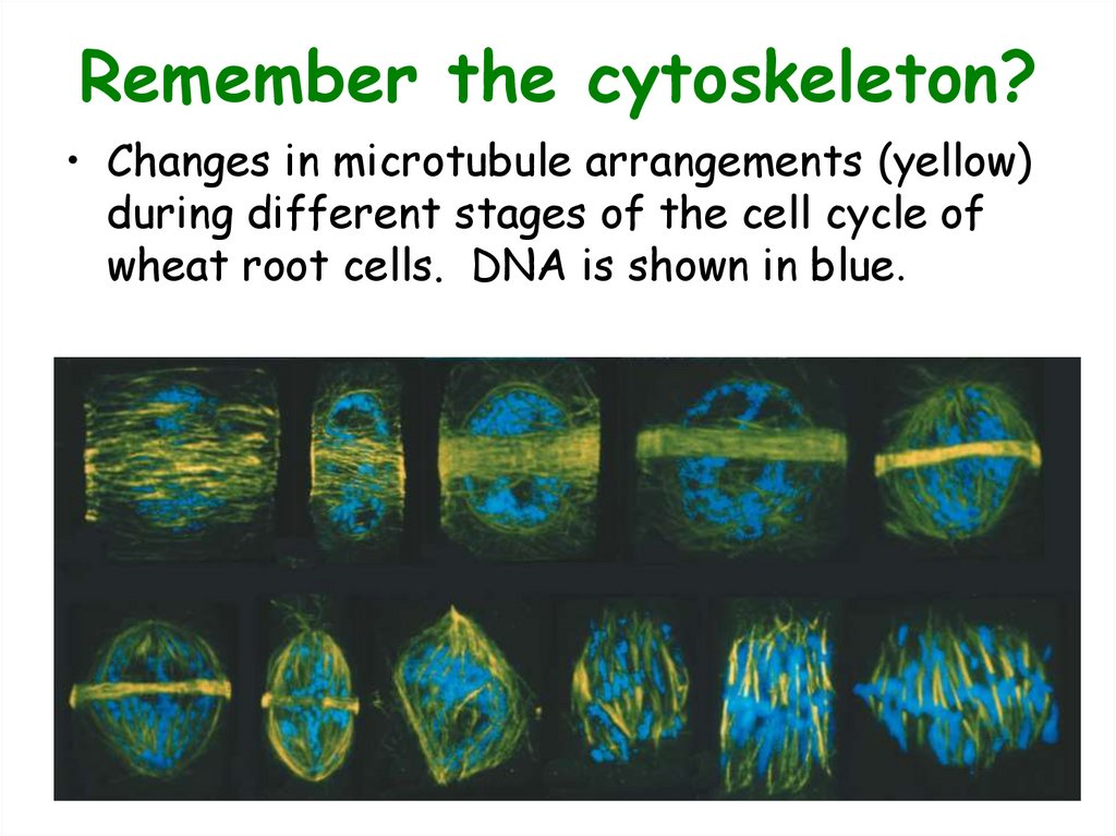 Remember the cytoskeleton?