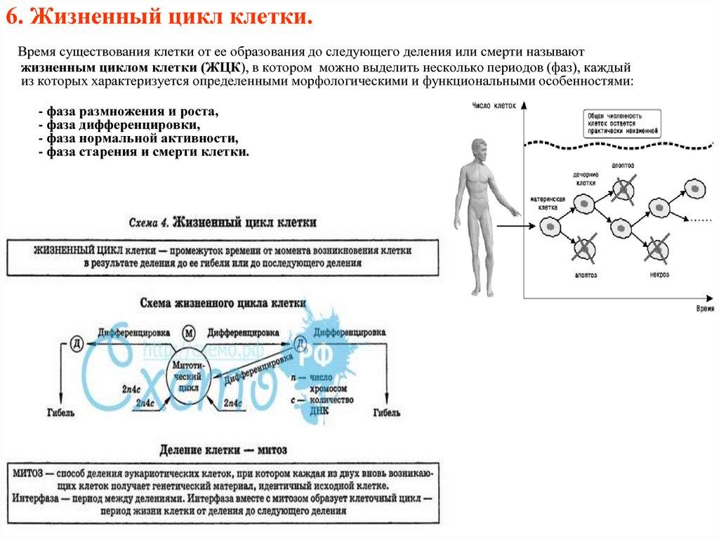 6. Жизненный цикл клетки.