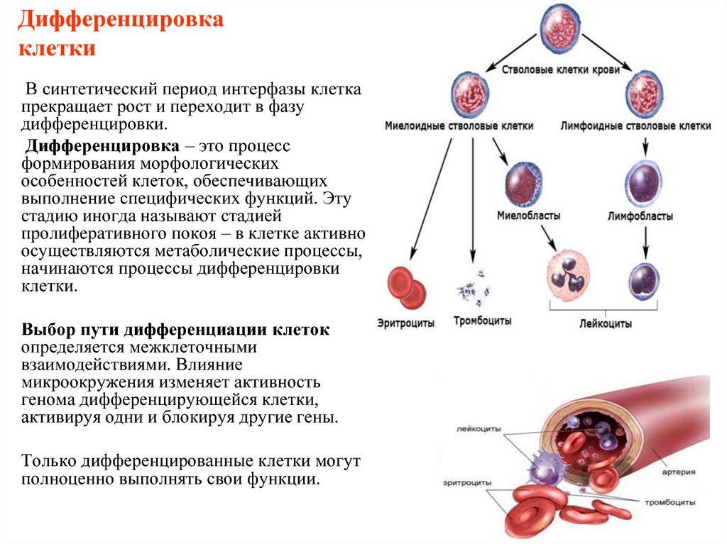 Дифференцировка клетки