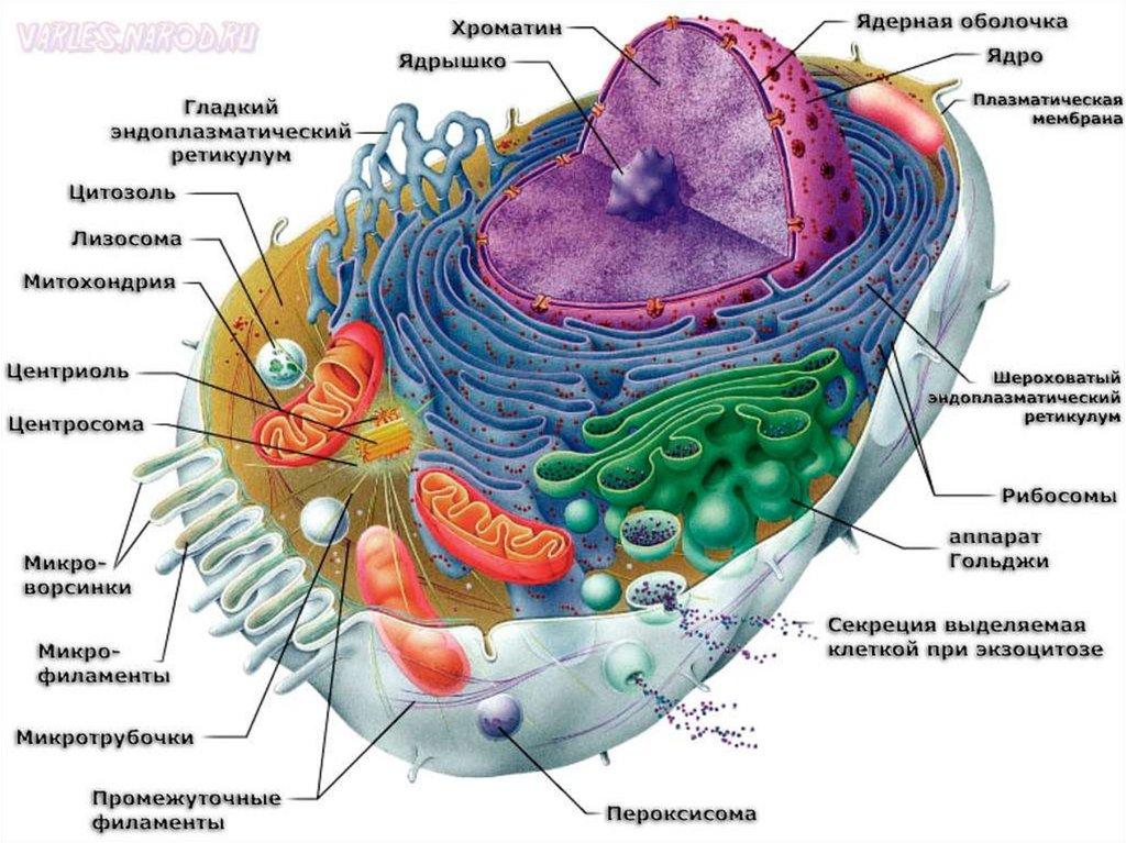 Основы цитологии клетка презентация