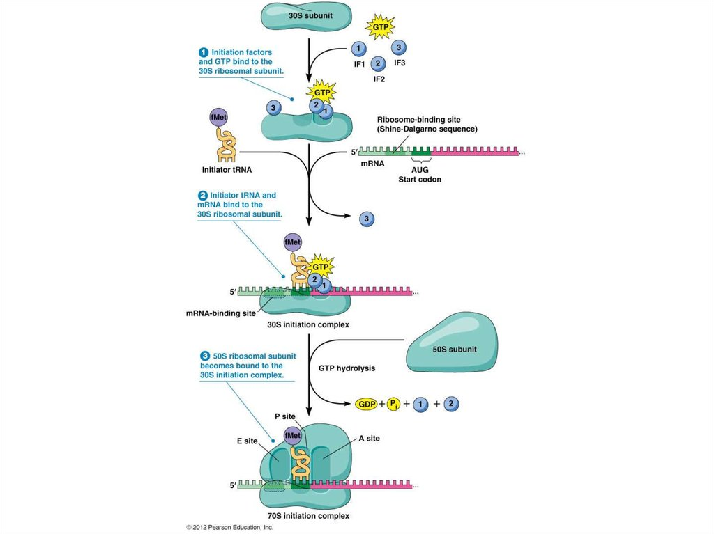 Initiation of translation in prokaryotes: initiation factors, initiator codons, 3'end of RNA small ribosomal subunit