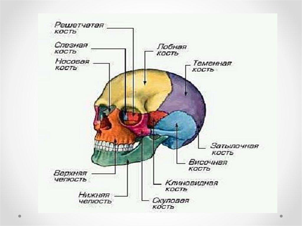кости черепа анатомия фото с цифрами