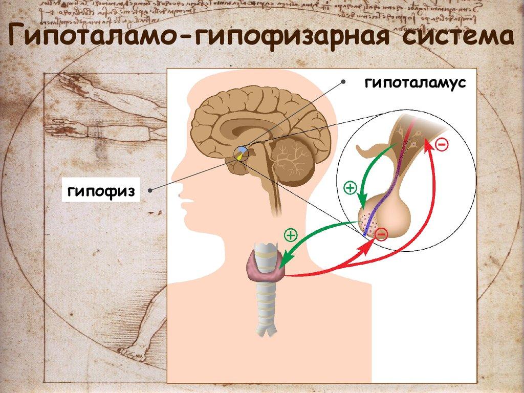 дошколята картинки гипофиза гипоталамуса просто связать