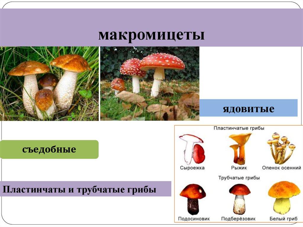 это трубчатые грибы ядовитые и съедобные фото момент, когда