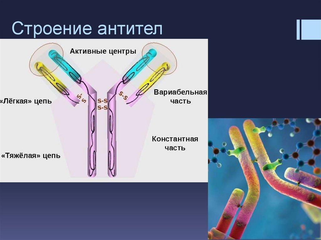 вам строение антител картинки коварные мысли