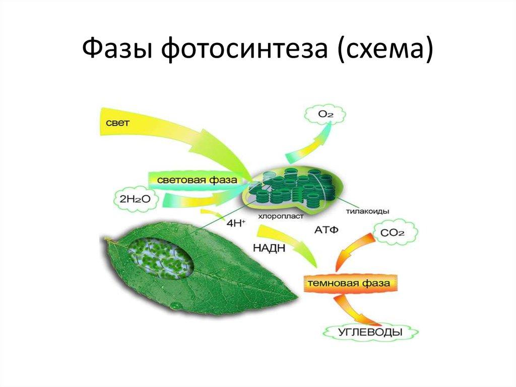 Фотосинтез картинки схемы