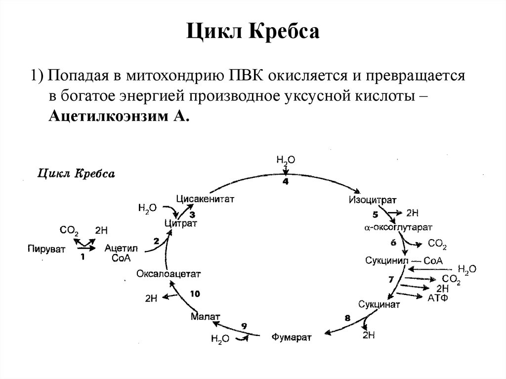 Ферментативного конвейера цикла кребса купить авто в воронеже фольксваген транспортер