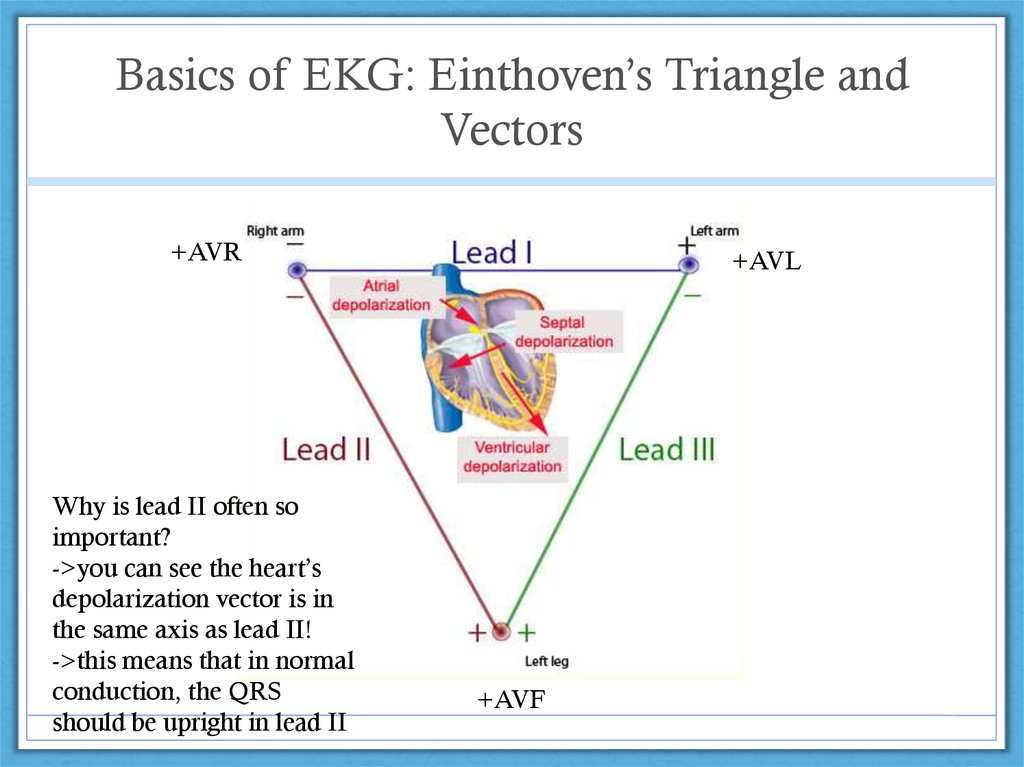Basics of EKG: Einthoven's Triangle and Vectors