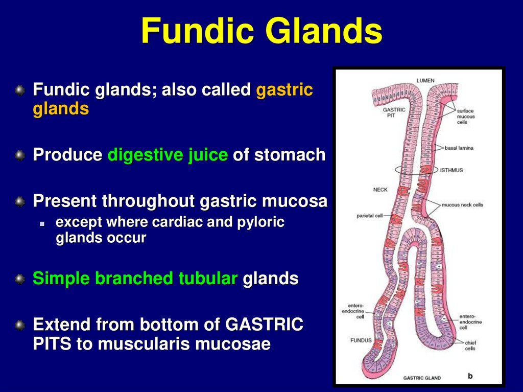 Fundic Glands