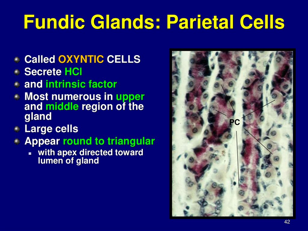 Fundic Glands: Parietal Cells