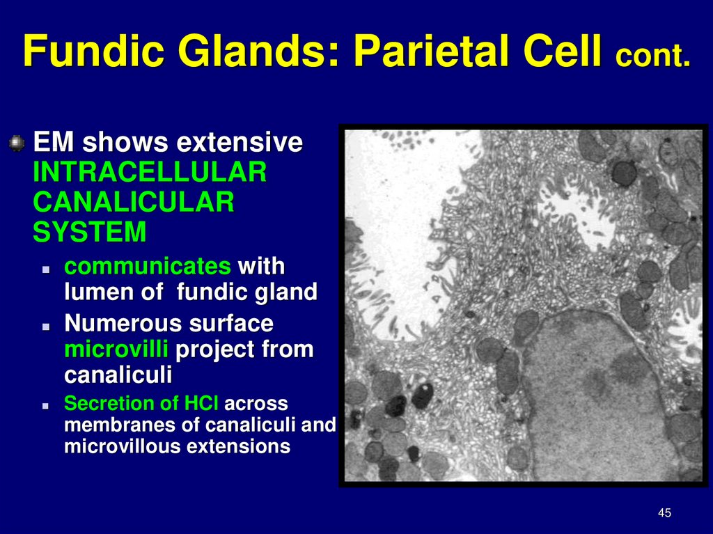 Fundic Glands: Parietal Cell cont.