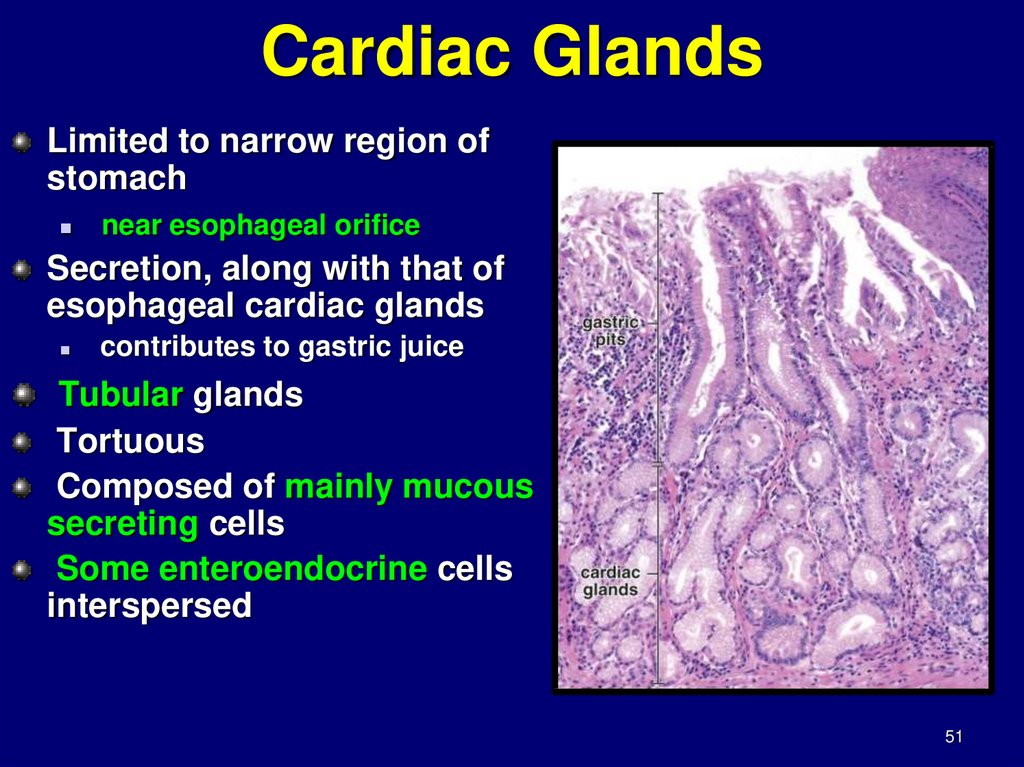 Cardiac Glands