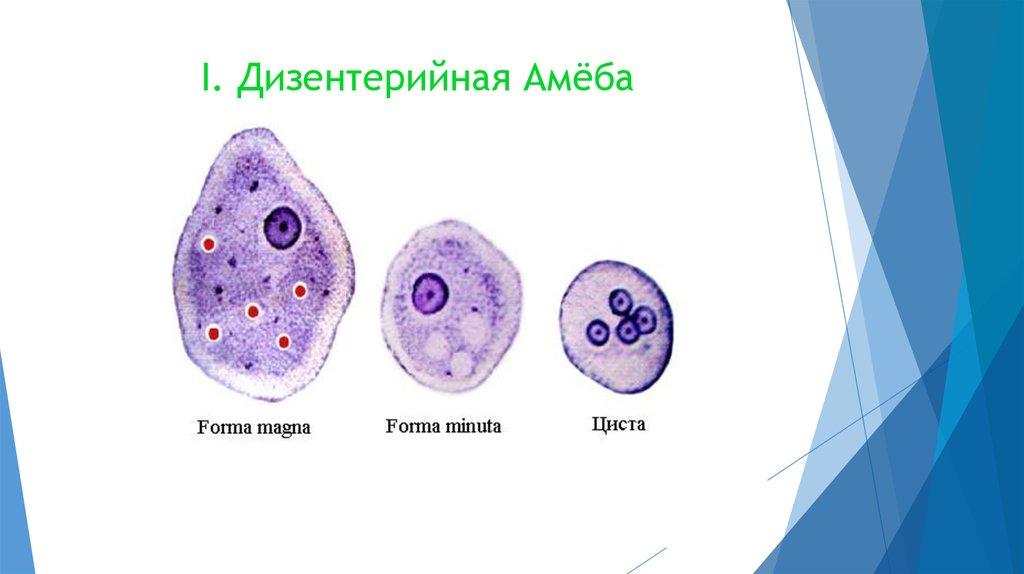 Амеба дизентерийная картинка с подписями