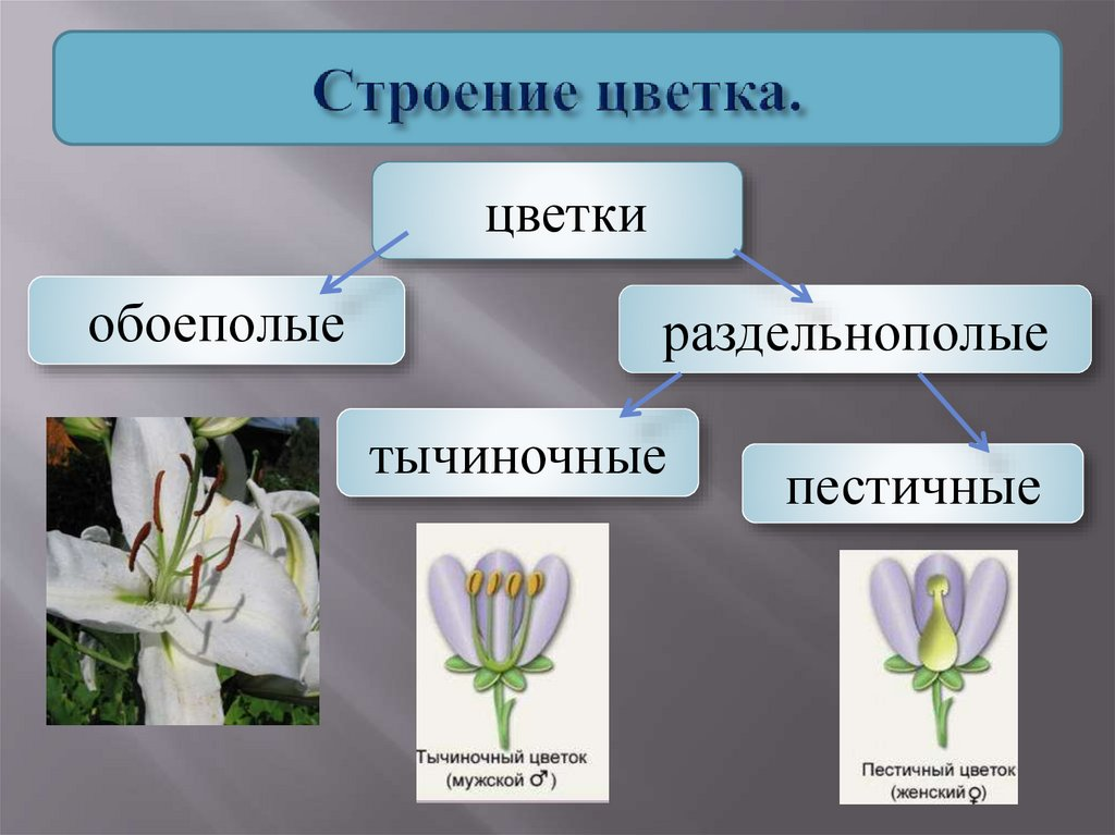 картинки обоеполого цветка популярными было предположение