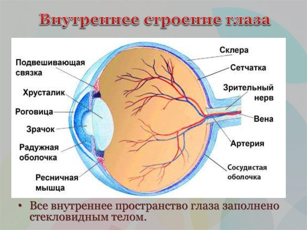 анатомия глаз в картинках бедра одни самых