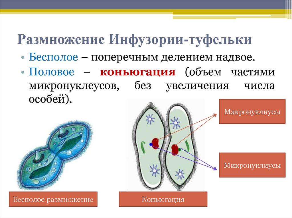 Размножение инфузории туфельки картинки