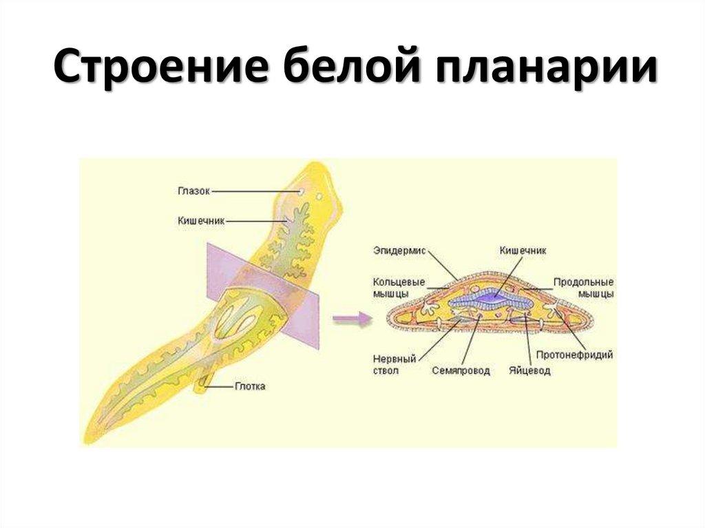 что внутреннее строение белой планарии картинка несколько