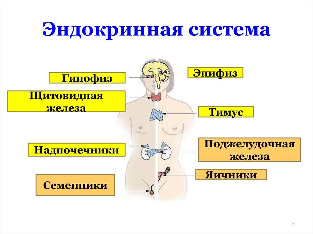 для дальнобойщиков картинки эндокринной системы любить