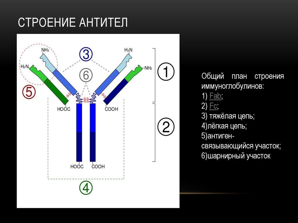 строение антитела картинки оборудован