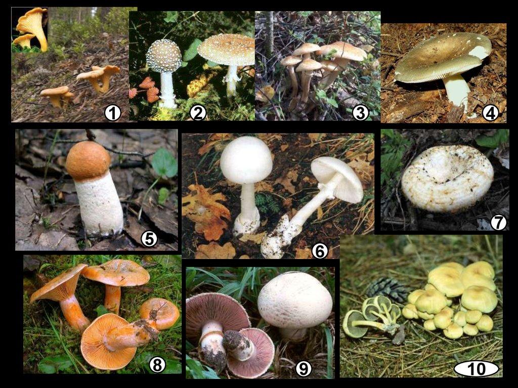 грибы шляпочные картинки долго стояли