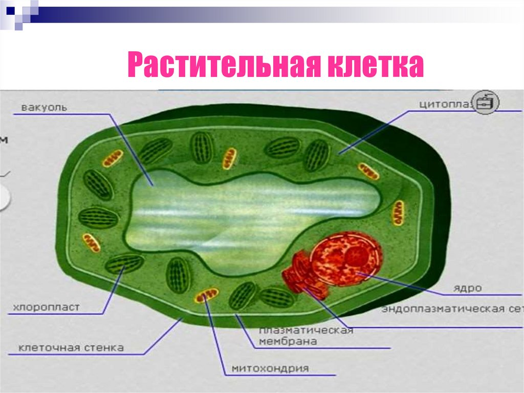 Органоиды растительной клетки картинка