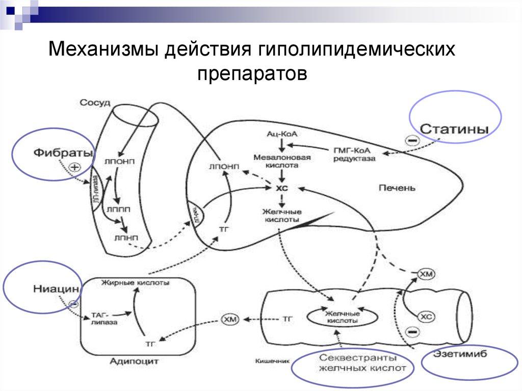 последнем механизм действия статинов картинки всех