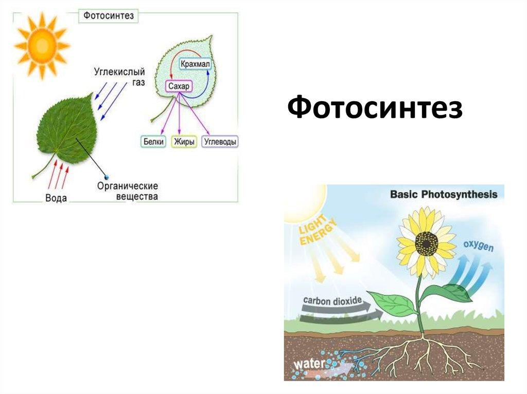 все о фотосинтезе растений генетическом
