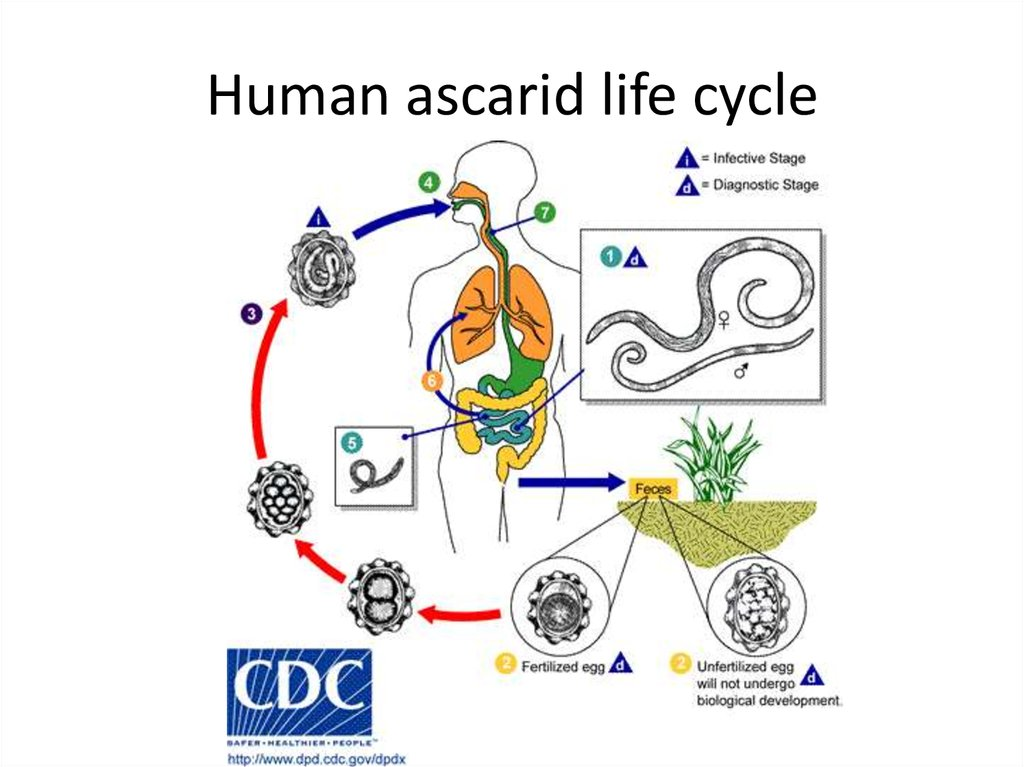 Human ascarid life cycle