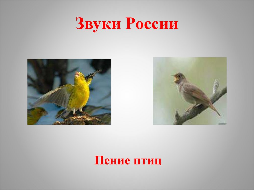 привлекает звуки российских птиц рублю